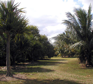 Line of palm trees